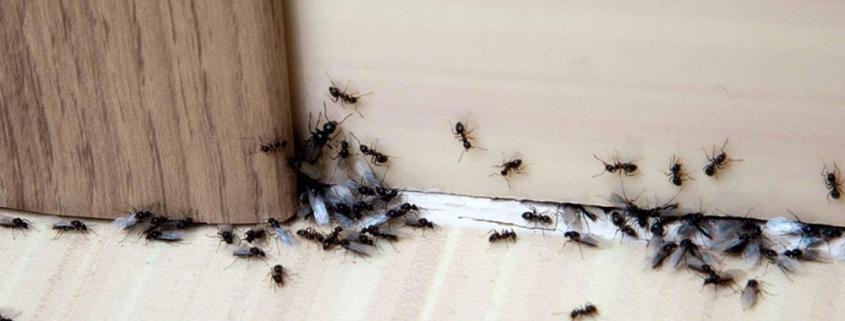 Απεντόμωση & Απολύμανση για Μυρμήγκια