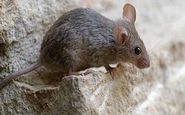 Καταπολέμηση Ποντικών και Αρουραίων